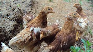 Chicks - 6 weeks