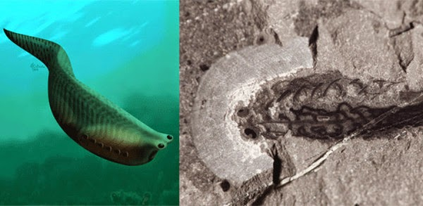 Evolusi Rahang Vertebrata, Spesis Metaspriggina