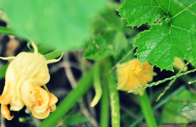 gardening - squash