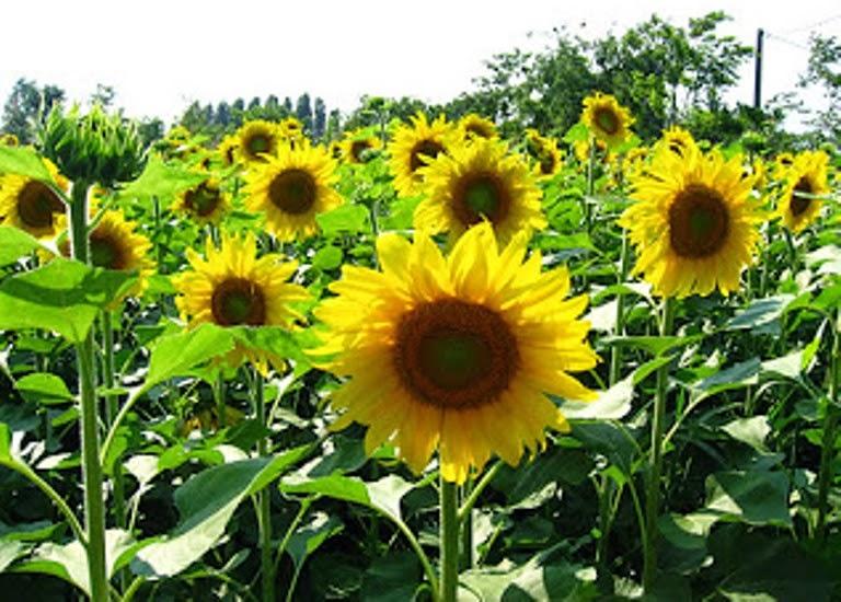 Manfaat Bunga Matahari Untuk Kesehatan Tubuh
