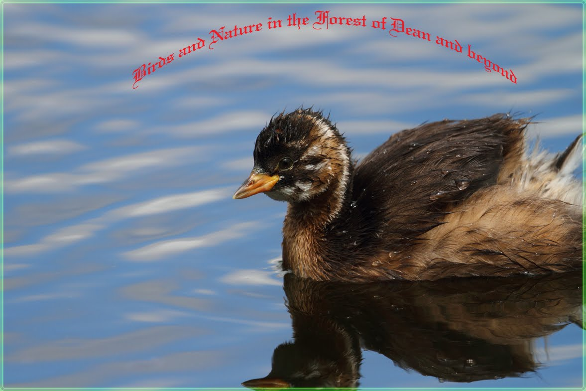 Birds and Nature in the Forest of Dean