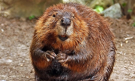 Ginger beaver 2