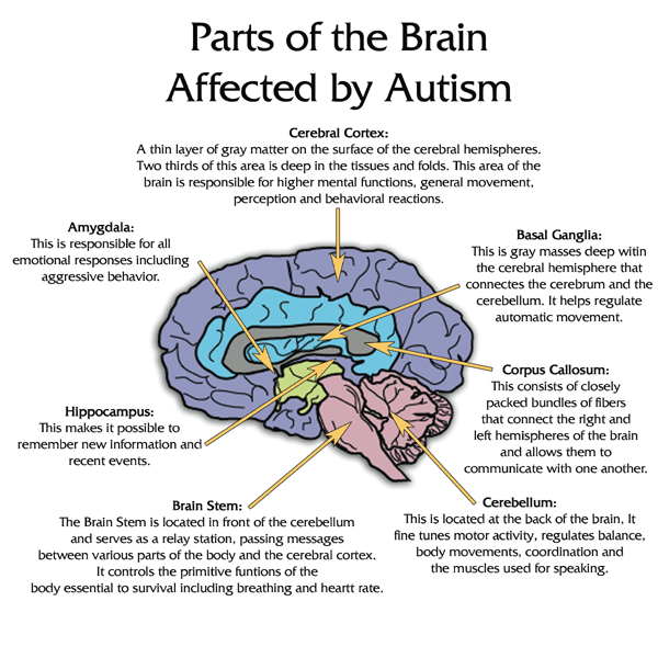 Pediaspeech parts of the brain affected by autism