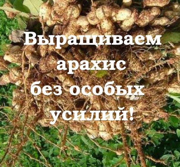 Что такое орех арахис выращивание 313