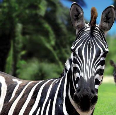 Zebra O Cebra Yahoo Piel rayada de ...