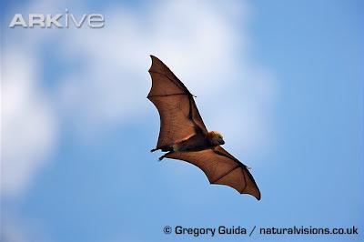 Zorro volador negro de Mauricio Pteropus niger