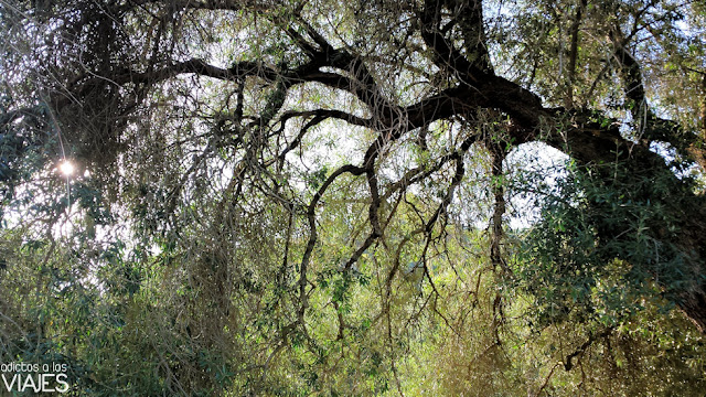 Olivo de Fuentebuena, el olivo más grande del mundo