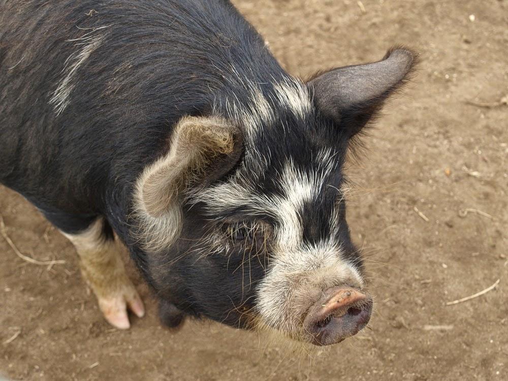Content Kune Kune Piggy