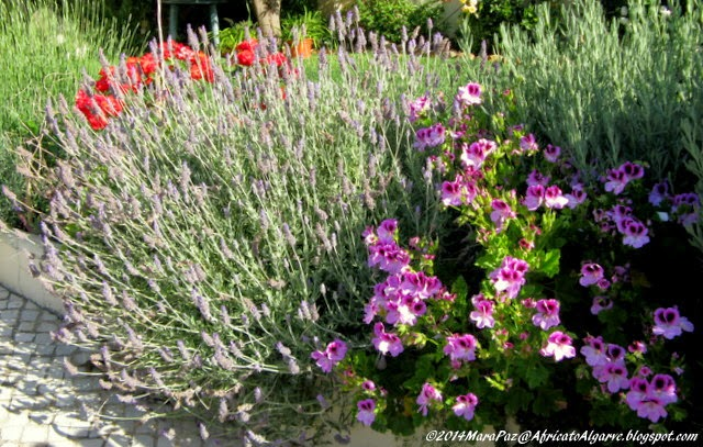 Lavenders, pelargoniums and roses