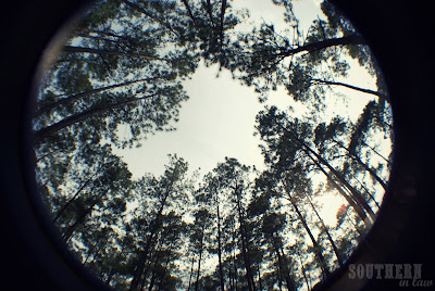 Kisatchie National Forest - Forest Hill Louisiana - Pine Trees