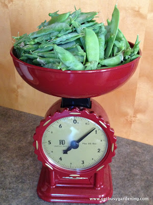 Peas from first harvest