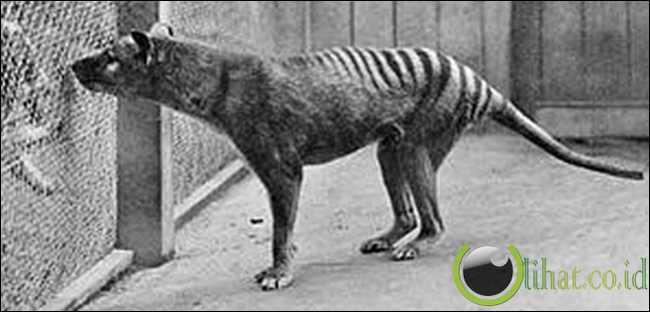 Harimau Tasmania