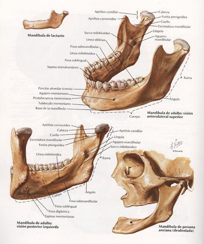 FISyOS: Articulación Temporo-Mandibular ATM. Anatomía y biomecánica.