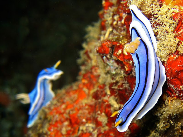 أجمل 10 أسماك ملونة في عالم البحار '' بالصور '' 800px-Chromodoris_lo