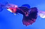 My Guppy Blog