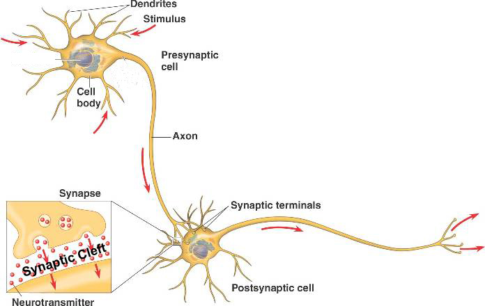 One Sound, One Synapse: Imaging Synapses in Living Brains | That's ...