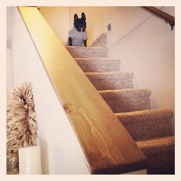stairs, french bulldog
