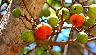 http://mustahabbah.blogspot.com/2015/09/manfaat-buah-tin-untuk-kesehatan.html