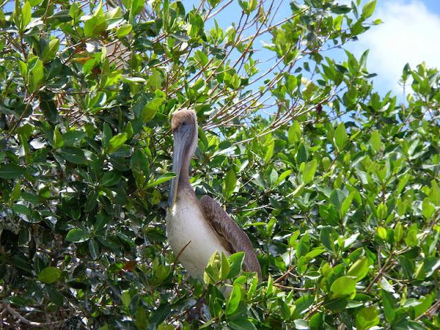 Pelicano marrom