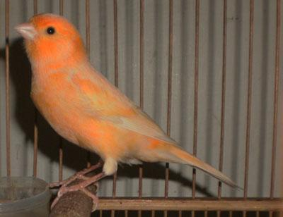 Lomba Burung Bupati Sidoarjo Cup Full Gantangan Klub