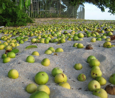 Inilah Pokok Paling Beracun Di Dunia