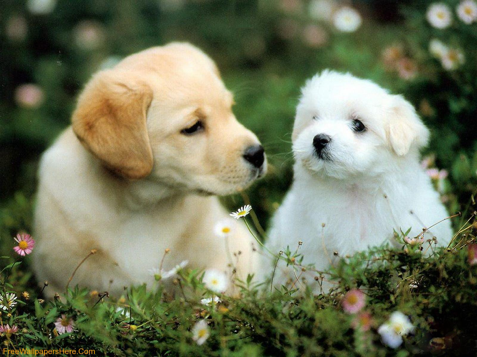 Wallpaper Gallery: Cute Pupies Wallpaper -4 Pictures Of Dogs