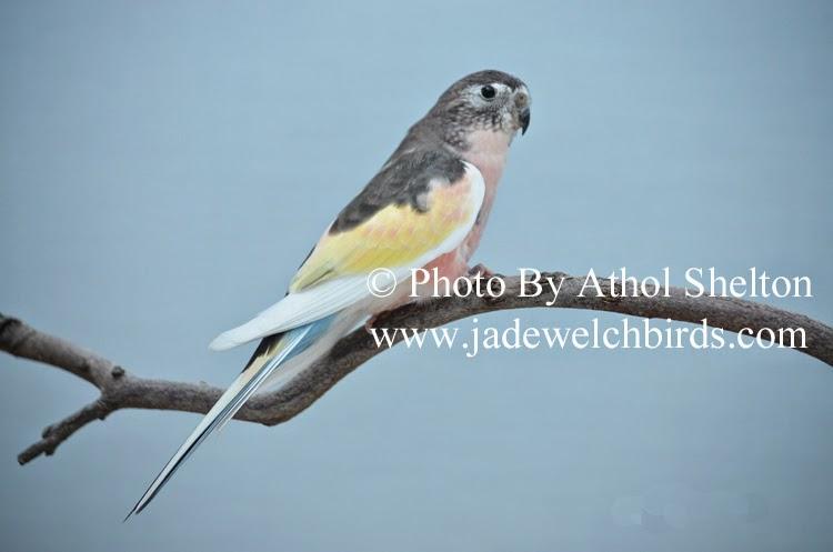 pied bourke athol shelton jade welch jadewelchbirds.com