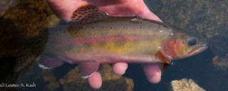 Golden trout about to be released, Golden Trout Lake, Montana