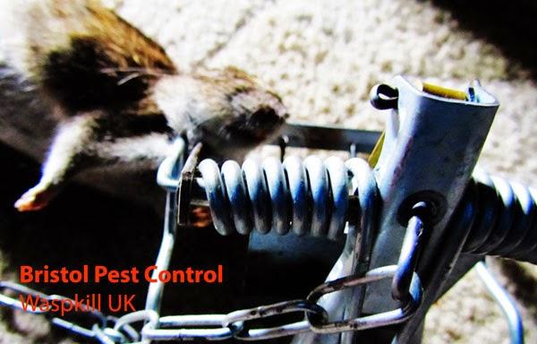 best rat trap bait