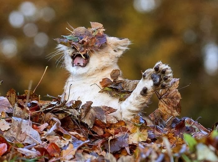 Lion cub vs leaves (6 pics), lion cub playing in a pile of leaves, cute baby lion pictures