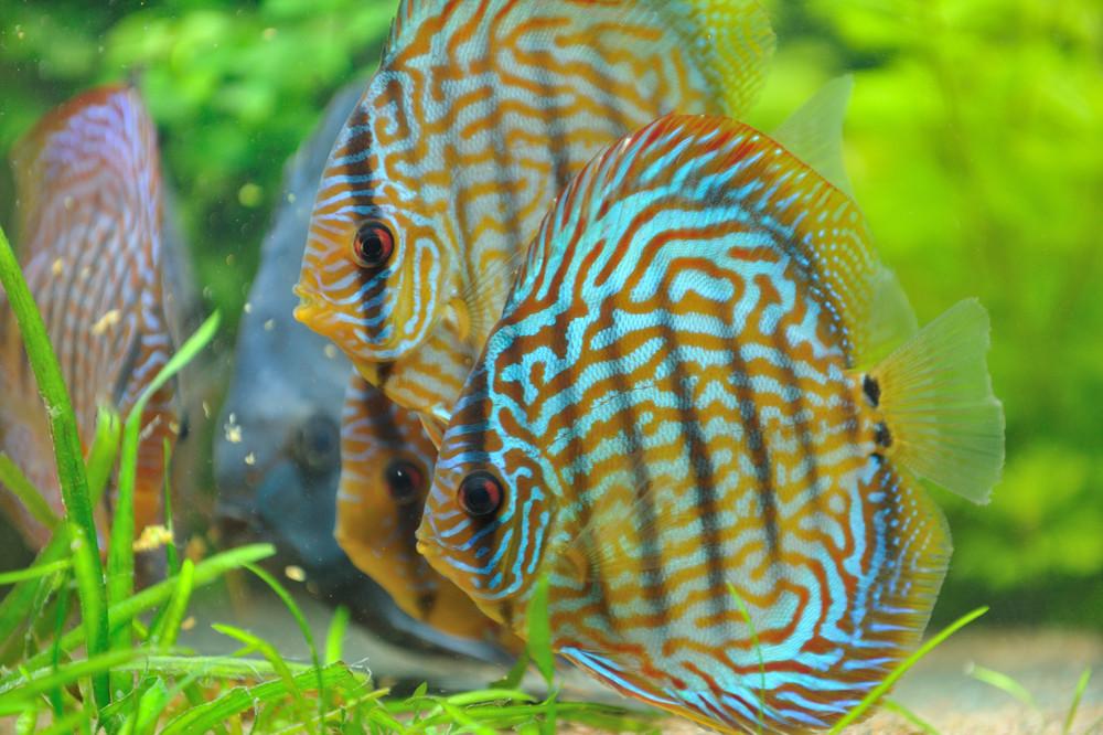 Element wasser diskus k nig des s wasseraquariums for Fische gartenteich arten