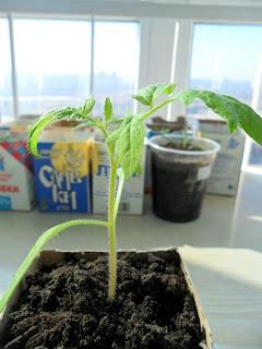 В стаканчике оставляю одно растение