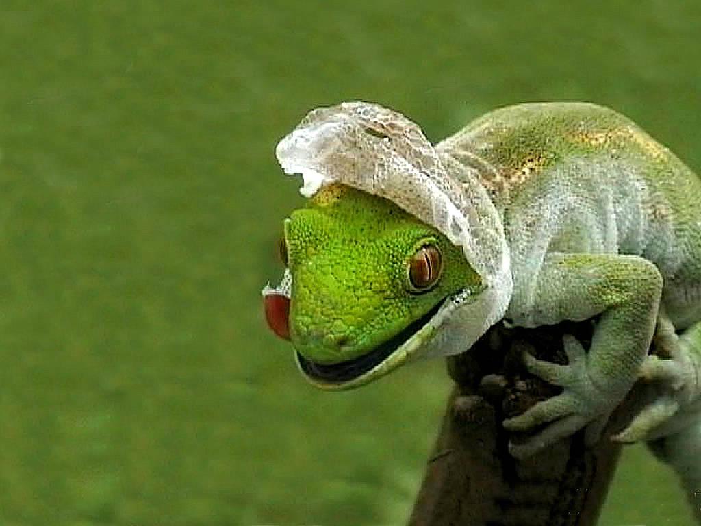 http://2.bp.blogspot.com/-3CgtEVb5Jkw/TaTVU9qQu3I/AAAAAAAAA68/RUa3OwcGJm4/s1600/lizard-shedding-skin-wallpaper-1.jpg