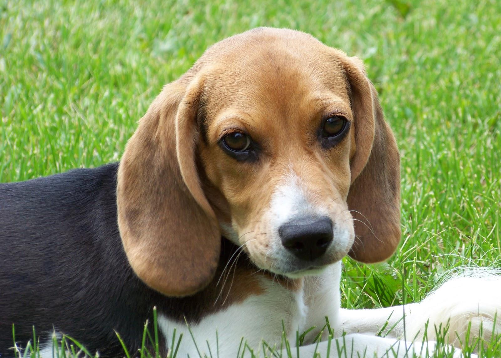 http://2.bp.blogspot.com/-3CmCcIz9-To/TdVzWyax7HI/AAAAAAAABDw/1c8nrhU9kuw/s1600/sfondo+cane+cucciolo+di+beagle.jpg