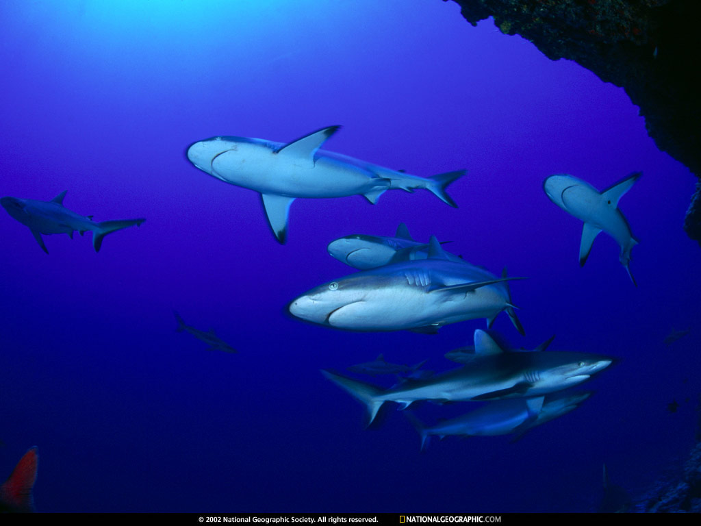 http://2.bp.blogspot.com/-3CstTMGHqks/UEUOSNoBlSI/AAAAAAAACjY/iWQvuDn8YOA/s1600/National+Geographic+Wallpaper+-+013+-+Sharks+Polynesia.jpg