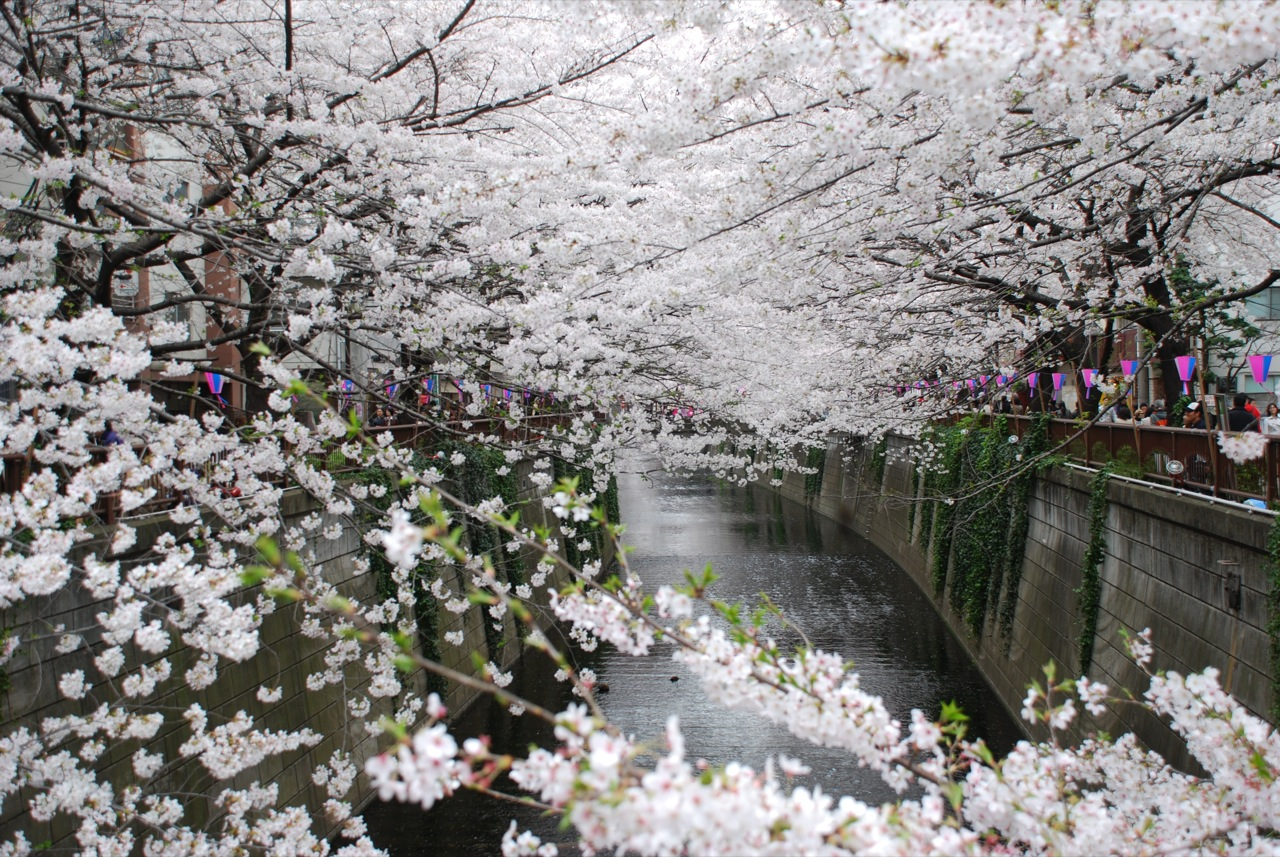 Wallpapers Pictures Photos  Gambar Bunga Sakura Terbaru Pictures