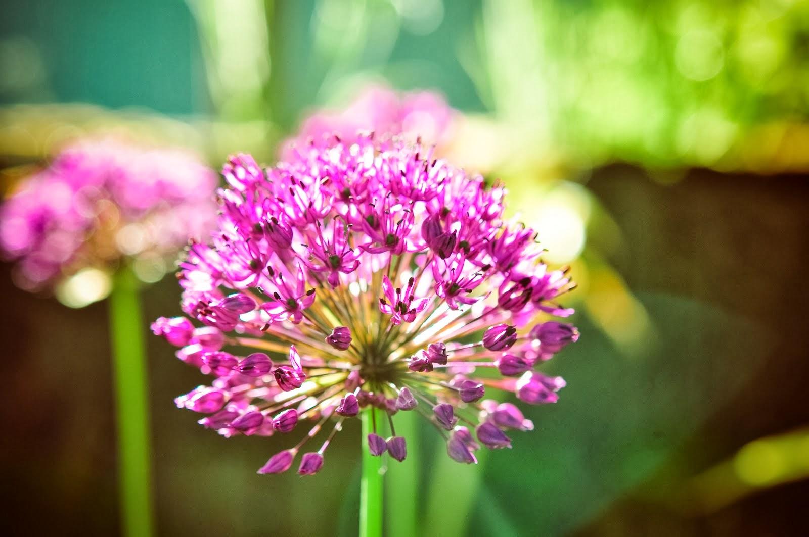 Flower Homes Alliums Flowers