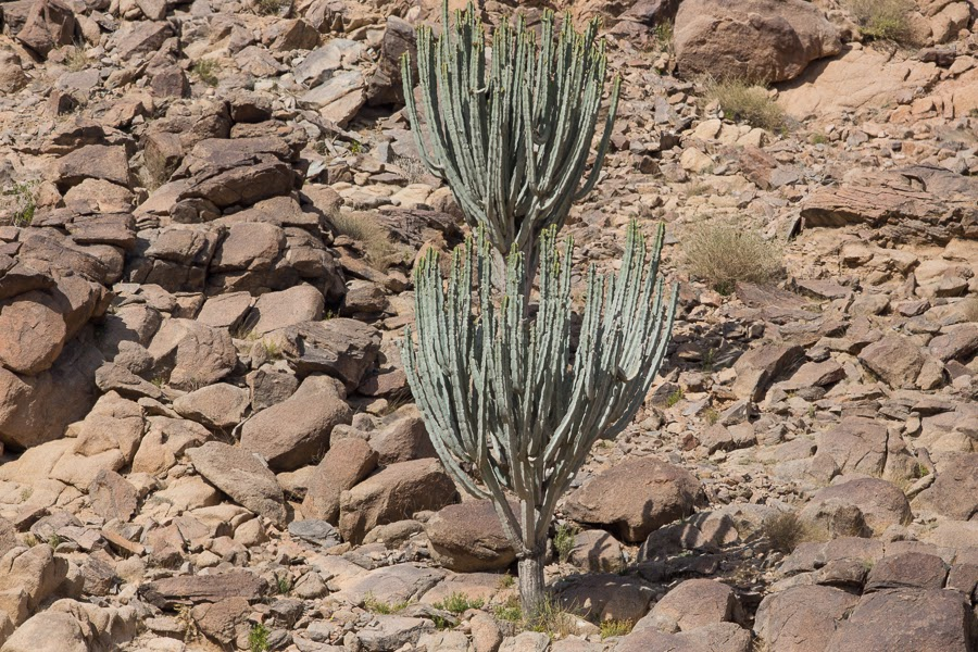 Euphorbia ammak