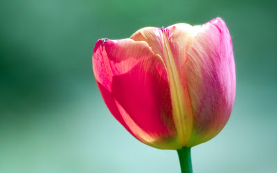 Beautiful Nature Tulips Wallpapers - Flower Wallpapers