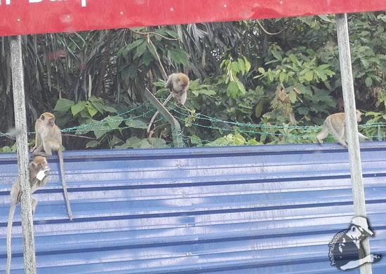Teknik Bela Harimau Halau Kera Dah Tak Menjadi