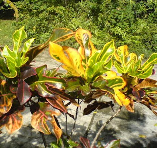 Yellow Croton Plant