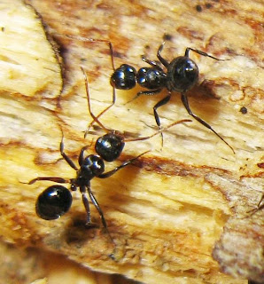 Minor workers of Camponotus bedoti