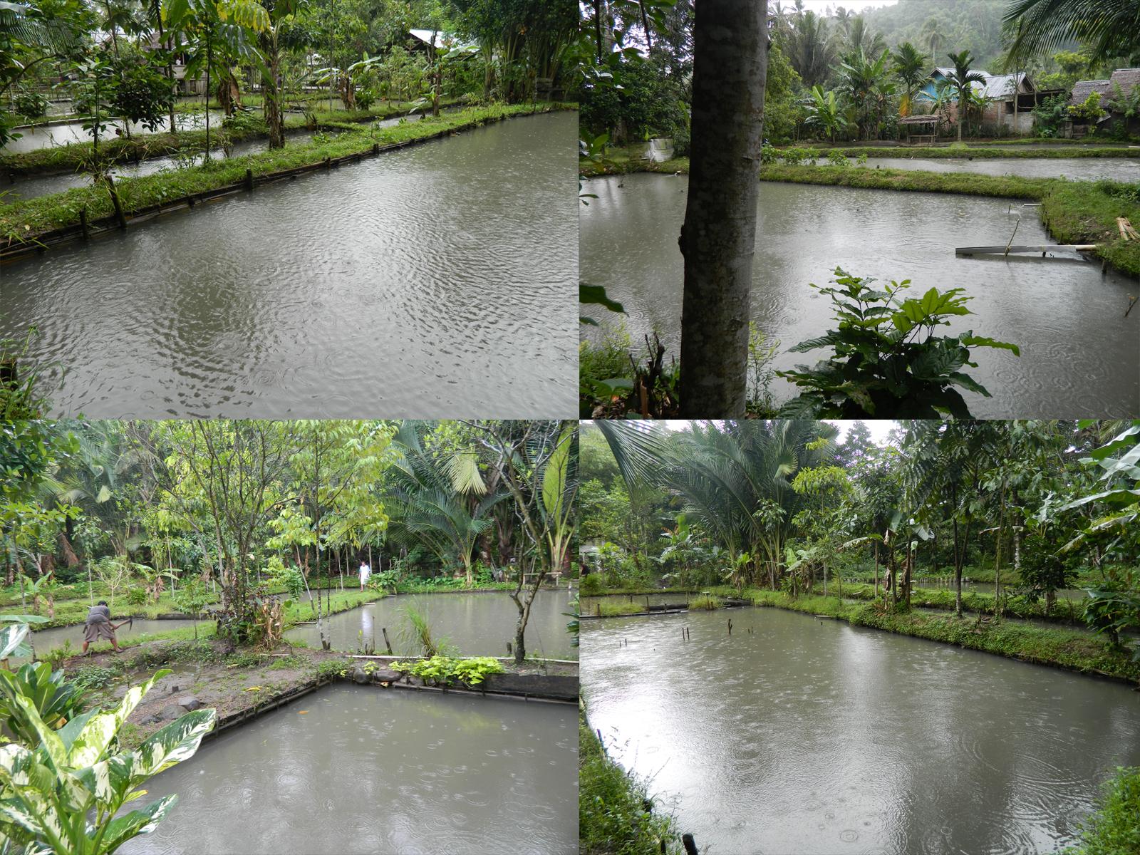kolam - kolam pembesaran ikan nila gesit dan bawal air tawar pokdakan tolutug mandiri