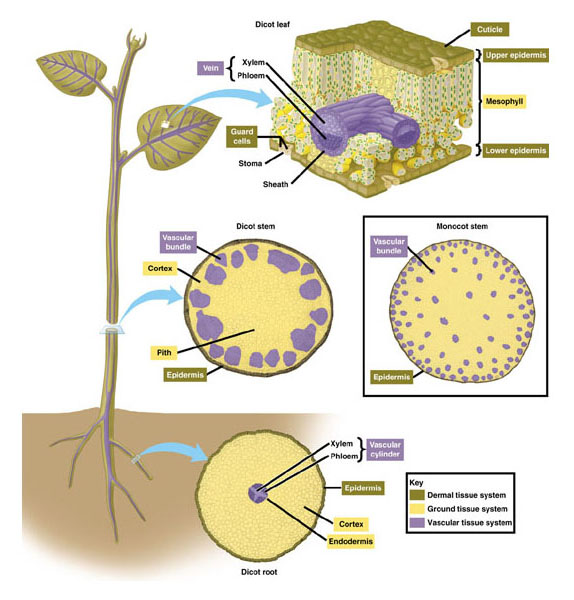 plant tissues biology Start studying plant biology learn vocabulary, terms, and more with flashcards, games, and other study tools.