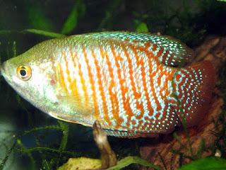 Dwarf Gourami Fish Pictures