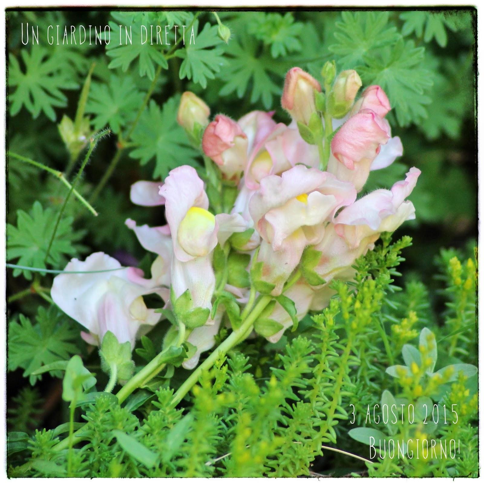 Fiori di agosto bocca di leone antirrhinum majus un for Bocca di leone in vaso