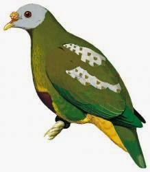 Carunculated fruit dove