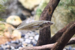 Amur stickleback
