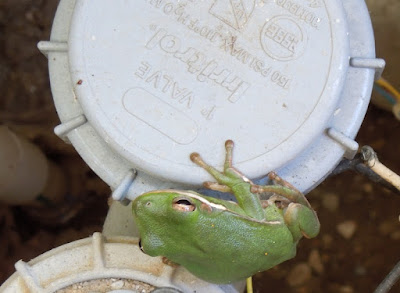 Frog in Sprinkler Control Box, © B. Radisavljevic