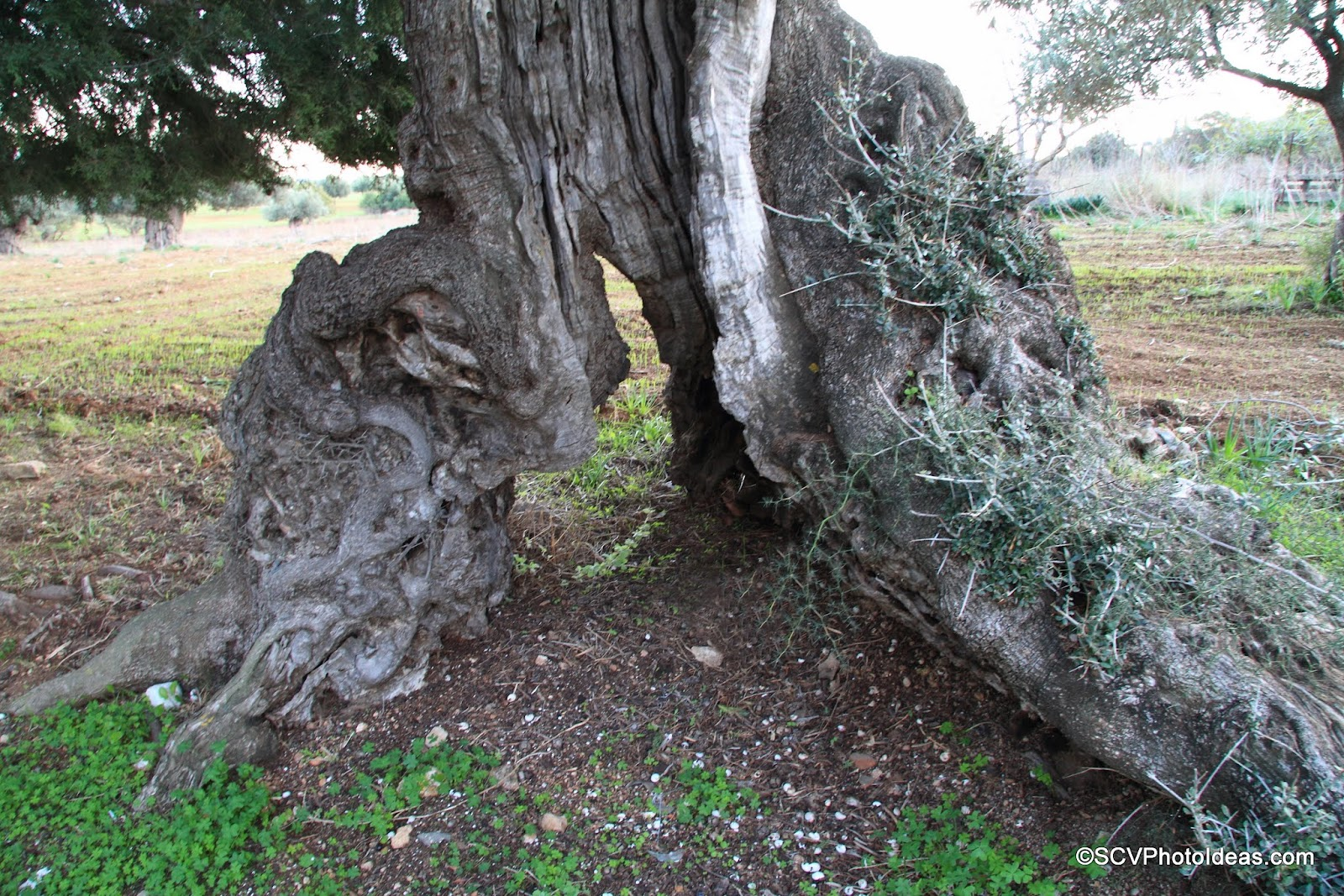 Ancient Olive with split roots detail